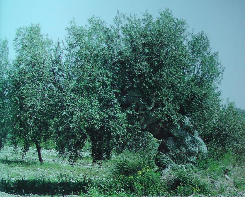 Olivo de Las Lomas