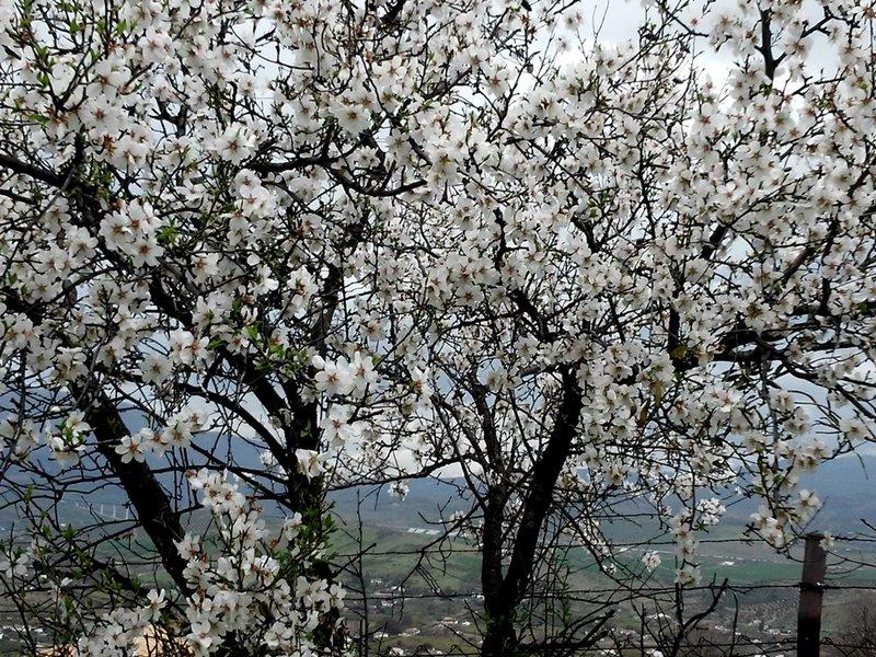 Álora, almendros en flor
