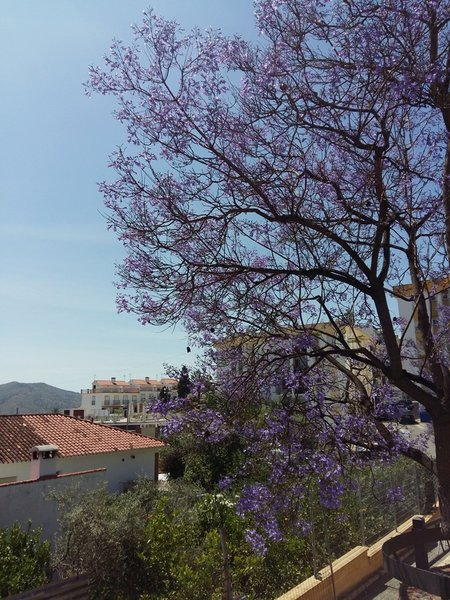 Álora, las jacarandas en flor