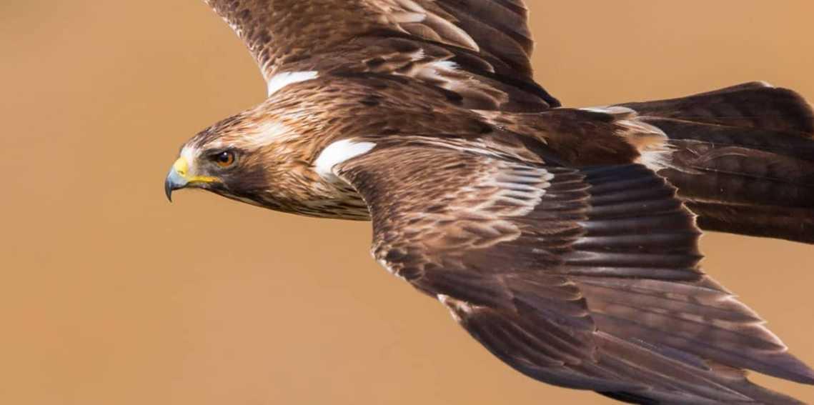 Las Aves del Estrecho de Gibraltar