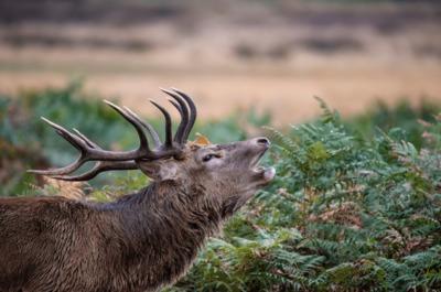 La Berrea del Ciervo, maravilla del mundo animal en la Sierra de Cazorla.