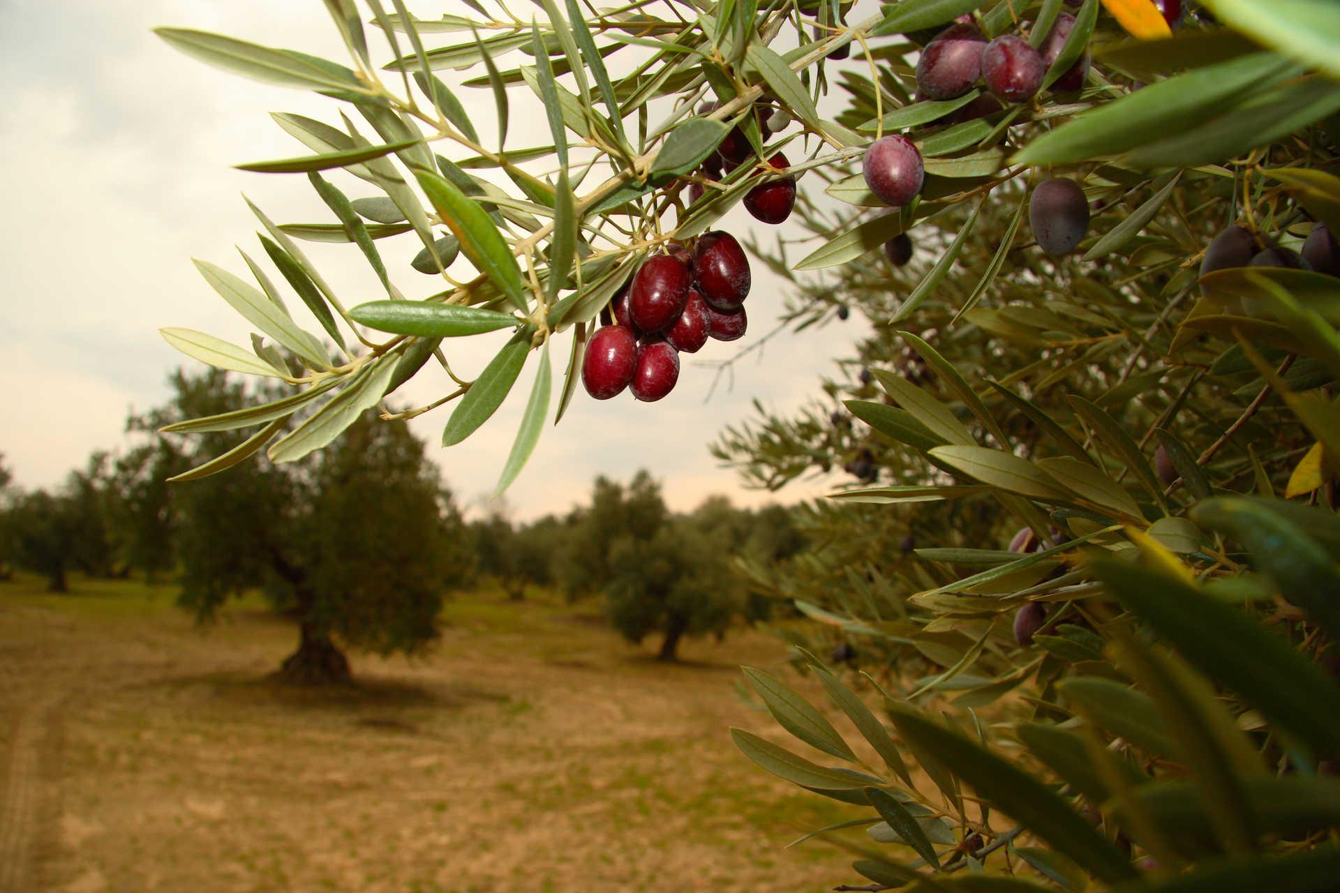 Visita Almazara y Bodega con catas en Montilla